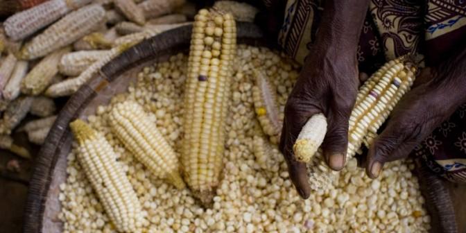 CROP-Africa_corn-800x400.jpg